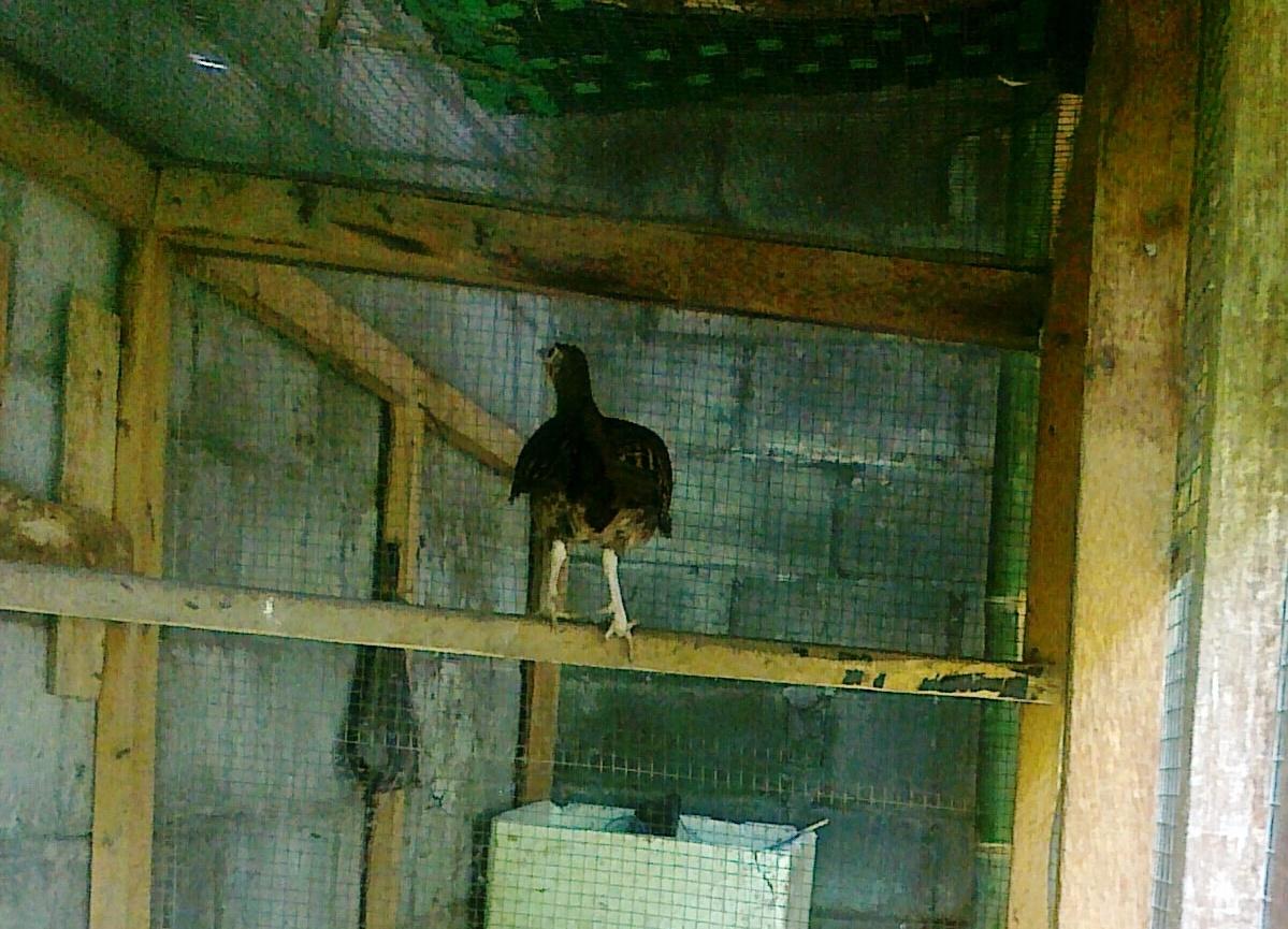 Ayam hutan betina standby di pangkringan