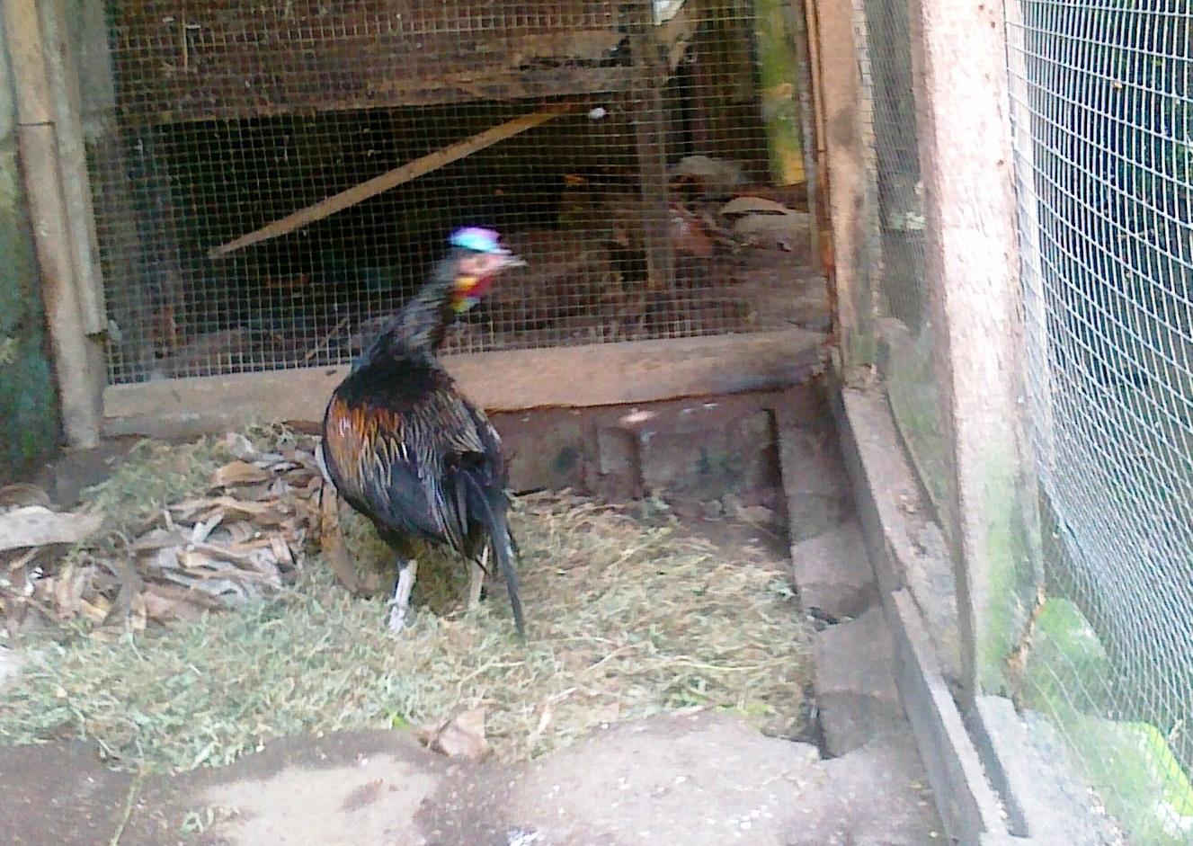 Ayam hutan jantan- waspada