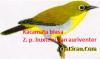 Gambar Burung Kacamata biasa Zp buxtoni dan auriventer