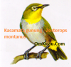 Burung kacamata gunung atau Zosterops montanus