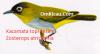 Gambar Burung Kacamata Topi Hitam Zozterops atricapilla