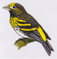 Gambar burung Kenari Melayu atau Serinus estherae atau kenari gunung atau mountain serin. (Foto: Buku Burung-burung di Sumatera, Jawa, Bali dan Kalimantan)