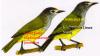 Gambar Burung Opior Jawa Lophozosterops javanikus - Jateng dan Jabar