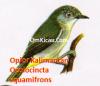 Gambar Burung Opior Kalimantan - Oculocincta squamifrons