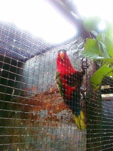 Burung nuri kepala hitam jantan di penangkaran Om Naryo Sragen - jadi galak setelah punya pasangan