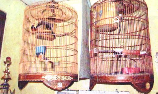 Penangkaran burung murai batu dengan sangkar gantung