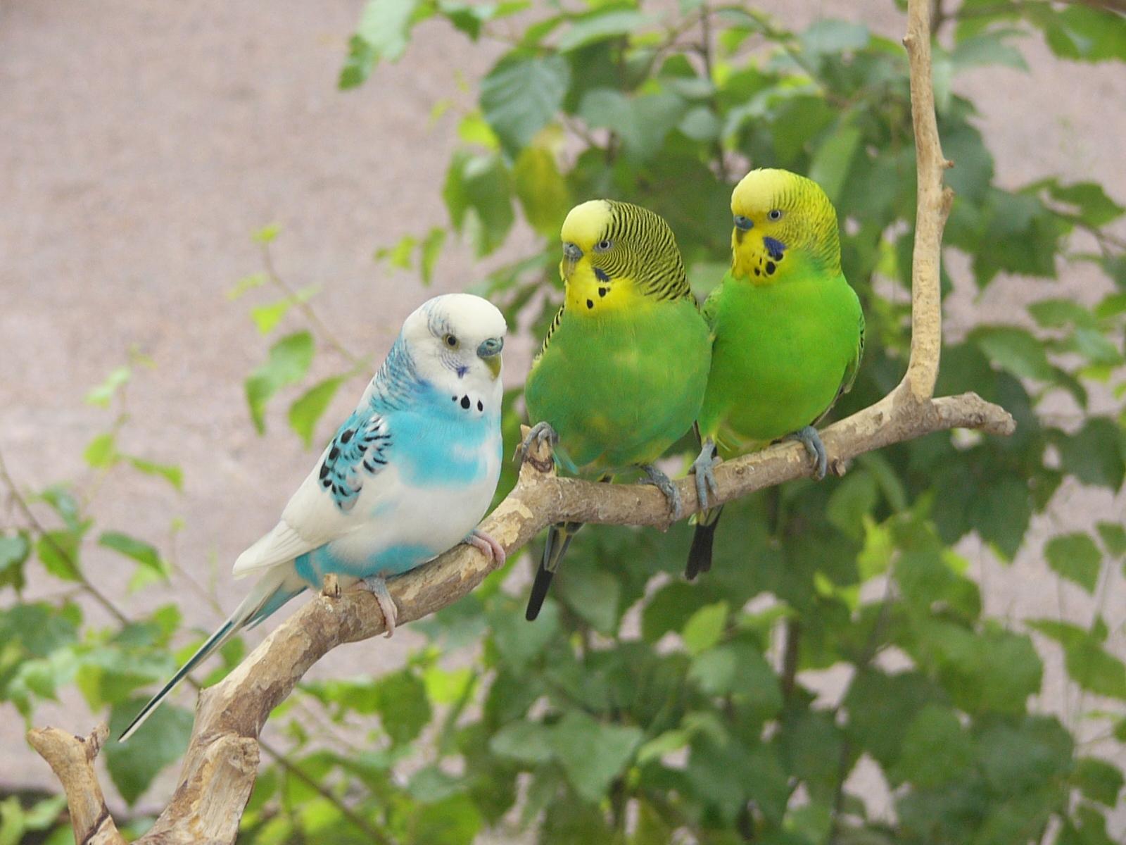 Волнистый попугай скачать