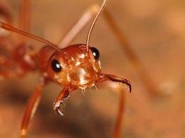 Pelatihan penangkaran semut rangrang