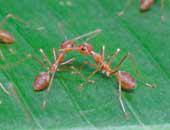 Beginilah cara semut rangrang berkomunikasi