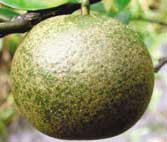 Buah jeruk yang rusak akibat serangan tungau - makanan semut rangrang