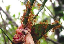 Cara memberi makan semut dengan pemberian usus dan daging lainnya