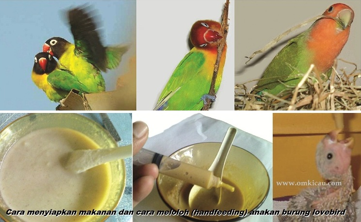 Cara menyiapkan makanan dan cara meloloh atau handfeeding anakan burung lovebird