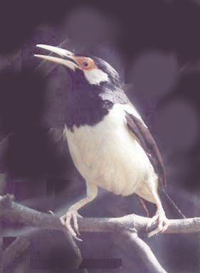 Popularitas burung jalak suren sempat terseok gara-gara isu flu burung dan meroketnya popularitas gelombang cinta