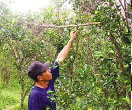Mr. Tran Van Buu menggunakan bambu untuk menjembatani semut berpindah tempat