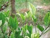 Penyakit greening disebabkan virus yang ditularkan oleh kutu daun - makanan semut rangrang