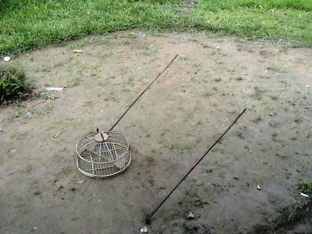 Peragaan teknik pikat atau memikat burung murai batu dengan model jaring