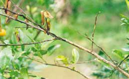 Ranting mati karena banyaknya asam formiat yang dikeluarkan semut saat terjadi pertempuran antar dua koloni