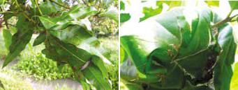 Sarang semut rangrang pada pohon mangga (kiri) dan pohon salam (kanan)