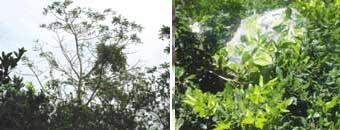 Semut rangrang lebih menyukai pohon-pohon yang tinggi seperti pohon kedondong (Spondias dulcis) atau pohon mangga (Mangifera sp.) untuk menghindari gangguan