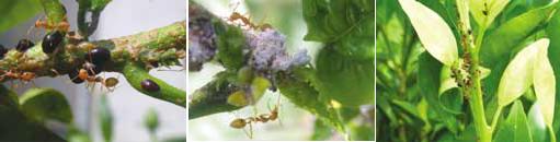 Semut rangrang memakan embun madu yang dihasilkan oleh kutu putih, kutu perisai dan kutu daun