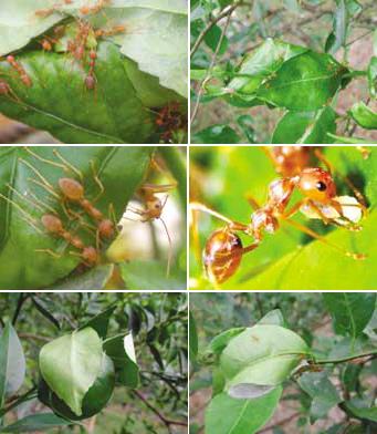 Semut rangrang membangun sarang dengan melipat dan merajut daun-daun menggunakan benang sutera yang dihasilkan oleh larvanya