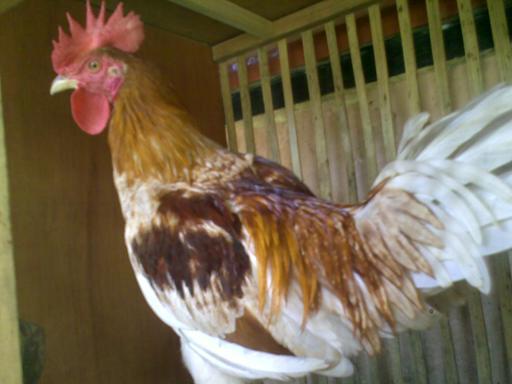 Ayam Ketawa Cipta Cilacap (8)