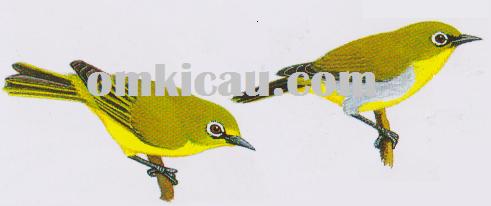 Burung kacamata atau pleci atau zosterops