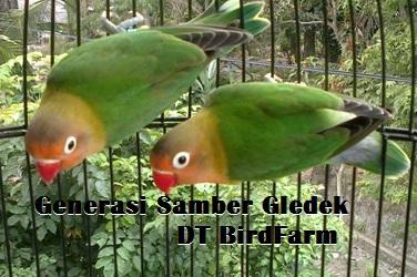 Dua anakan burung lovebird Samber Gledek DT Birdfarm