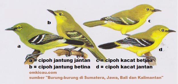 Gambar burung cipoh jantung dan cipoh kacat