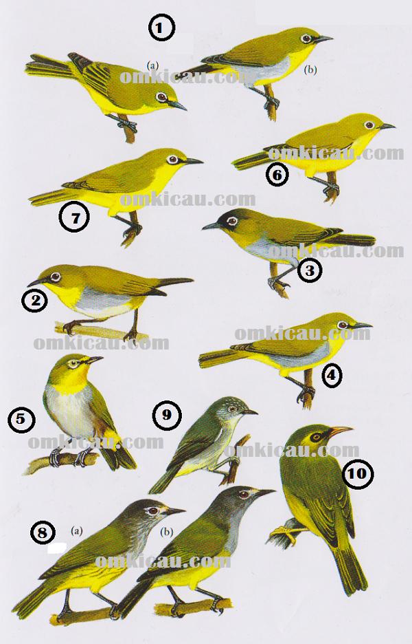 Jenis-jenis burung kacamata atau pleci dan opior di Indonesia