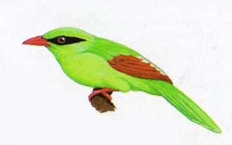 Burung ekek geling atau Cissa thalassina