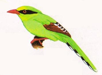 Burung ekek layongan atau Cissa chinensis
