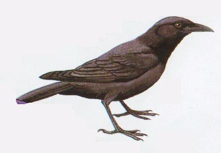Burung gagak hutan atau Corvus ema