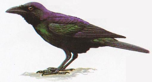 Burung gagak kampung atau Corvus macrorhynchos