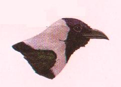 Burung gagak rumah corvus splemlens, Tengkuk dan dada keabu-abuan. Pernah ditemukan di Kep. Krakatau