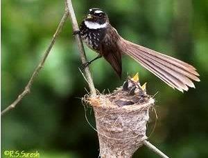 Burung sikatan atau burung kipasan atau white throated fantail