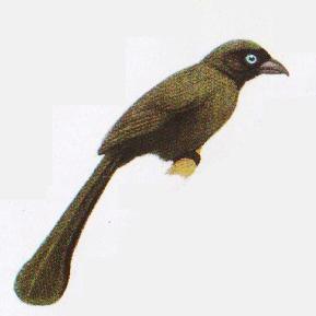 Burung tangkar- cetrong atau Crypsirina remia