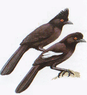 Burung tangkar kambing atau Platysmums leucoptems. Kiri - PI. aterrimus asal Kalimantan dan kanan adalah PI. leucopterus asal Sumatera