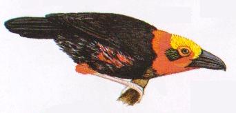 Burung tiong-batu Kalimantan atau Pityriasis gymnocephala. Paruh sangat besar dan berkait. Kepala berwarna warni terang. Jantan tanpa warna merah pada sisi lambung
