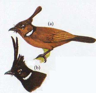 Dua jenis burung cililin - coklat dan hitam