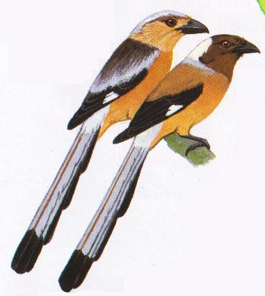 Kanan - Burung tangkar-uli Sumatera atau Dendrocitta occipitalis. Kiri Tangkar-uli Kalimantan atau Dendrocitta cinarescens