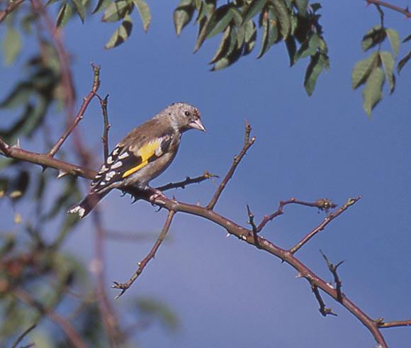 Burung Chardonneret Elegant usia remaja