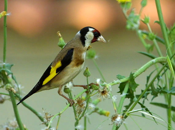 Burung Chardonneret Elegant