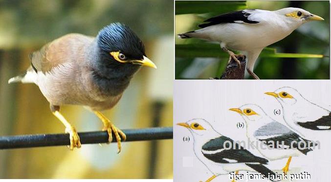 burung jalak nias dan burung jalak putih