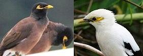 burung jalak nias dan jalak putih