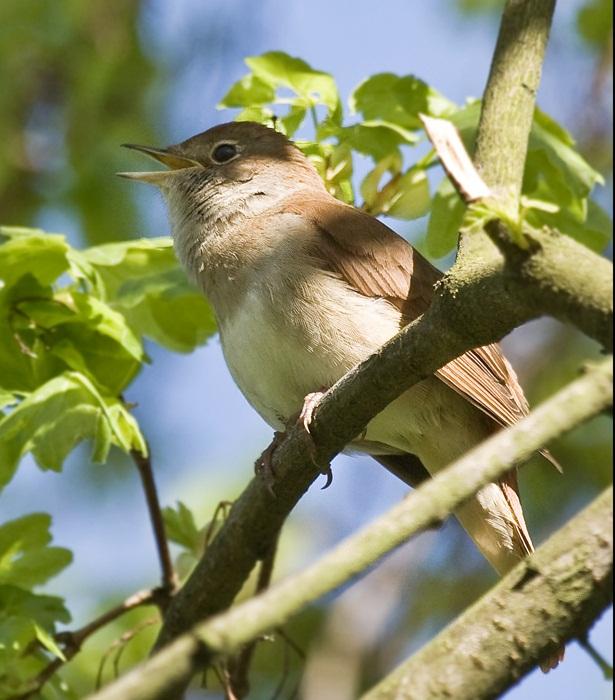 Burung Luscinia megarhynchos atau burung nightingale atau sikatan londo