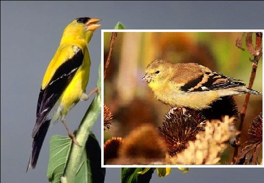 Burung American Goldfinch