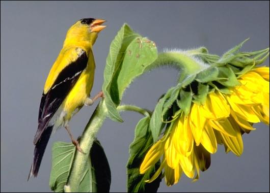 American Goldfinch jantan