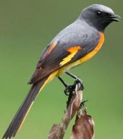 Burung sepah kecil atau Pericrocotus cinnamomeus 2
