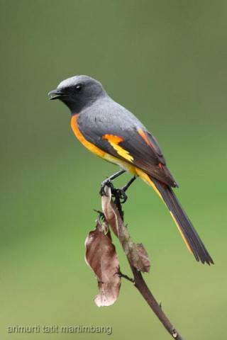 Burung sepah kecil atau Pericrocotus cinnamomeus